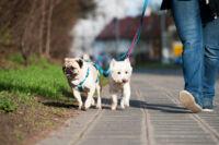 Kutyahám: a biztonságos sétáltatás kulcsa