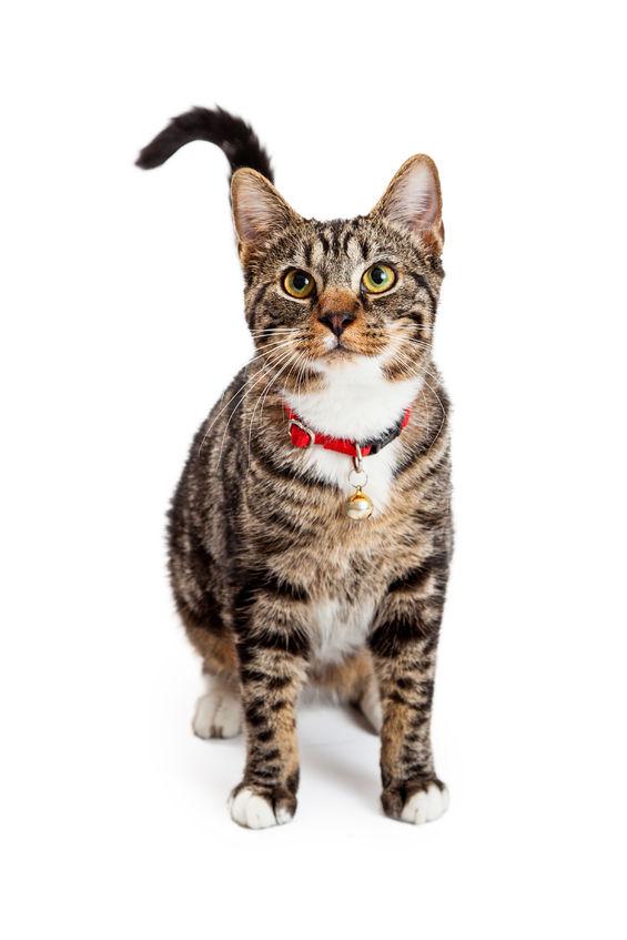 Macska nyakörv a házi kedvenceknek